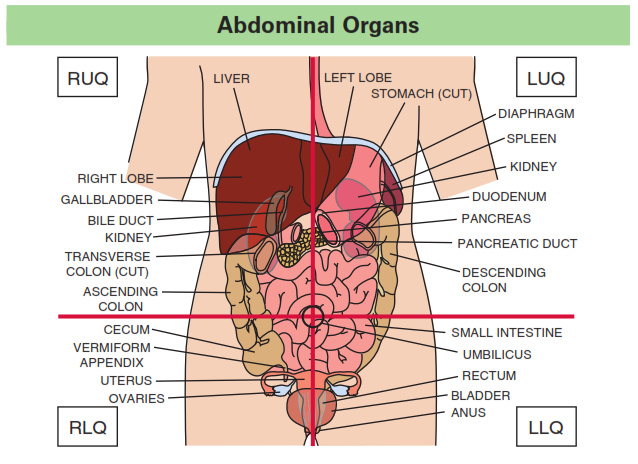 Anatomy of left abdomen
